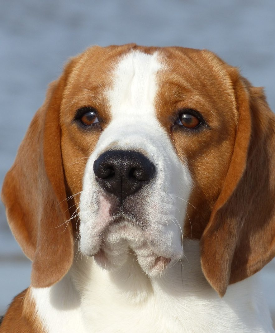 Benji Hund